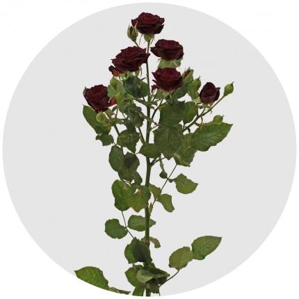 Роза Амата изображение 1