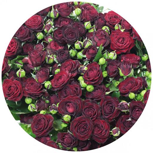 Роза Амата изображение 2