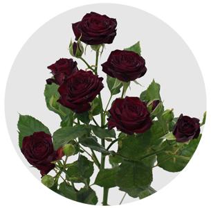Роза Амата изображение 3