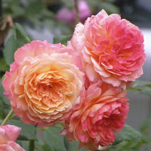 Роза Андре Тюрка 1