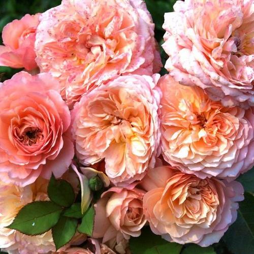 Роза Андре Тюрка 2