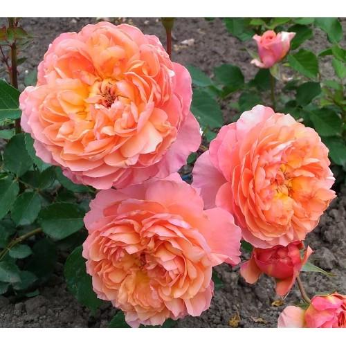 Роза Андре Тюрка 3