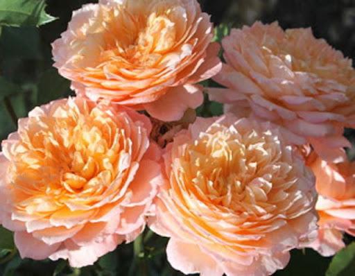 Роза Андре Тюрка 4
