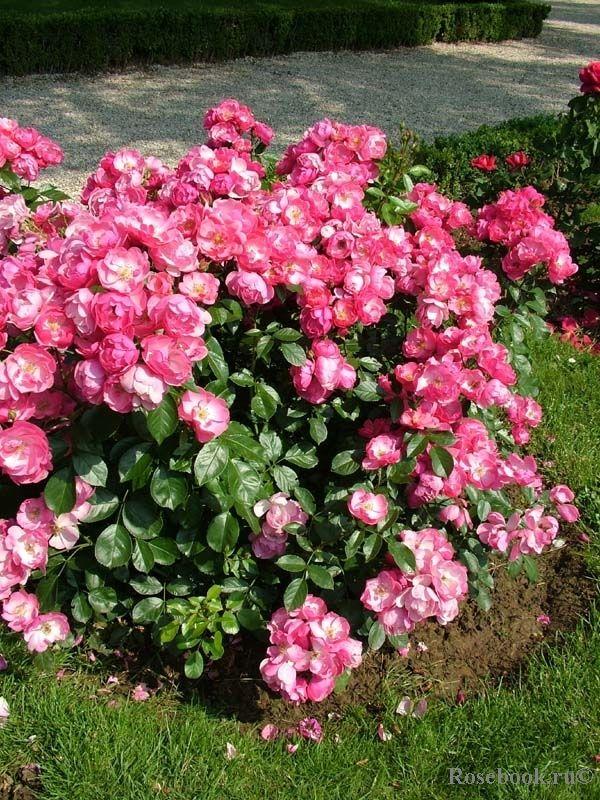 Роза Ангела изображение 3