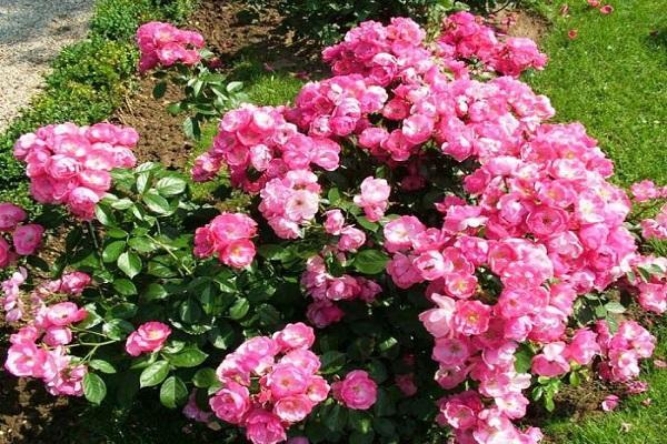 Роза Ангела изображение 4