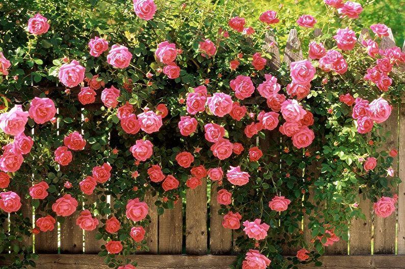 Роза Английская изображение 1