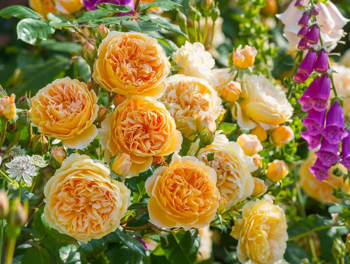 Роза Английская изображение 4