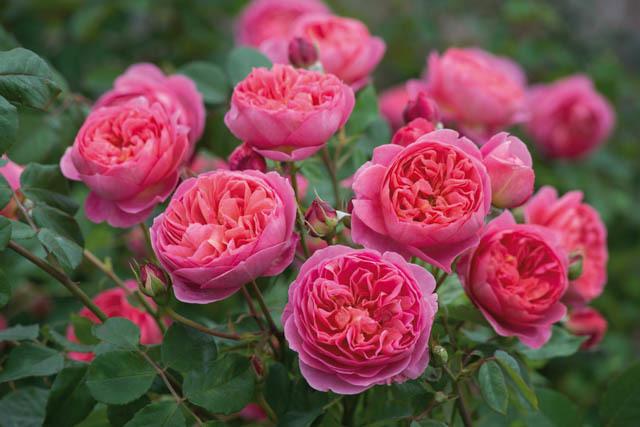 Роза Английская изображение 3