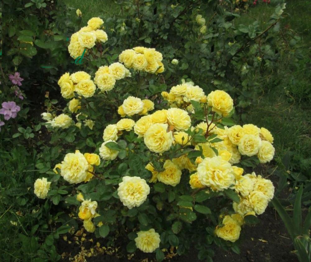 Роза Анни Дюпре 1