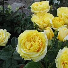 Роза Анни Дюпре 2