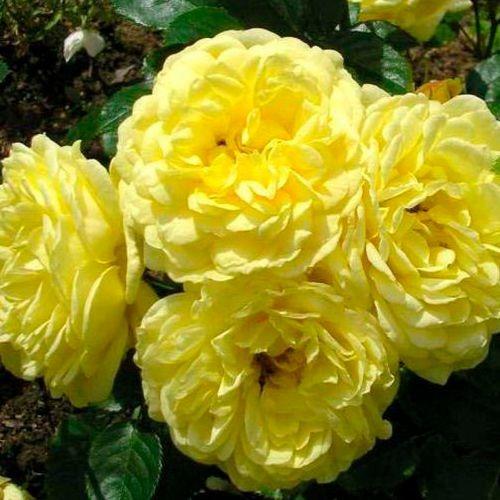 Роза Анни Дюпре 3