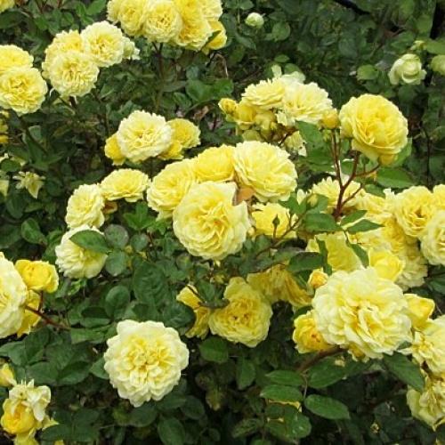 Роза Анни Дюпре 4
