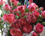 Роза Априкот Лейс