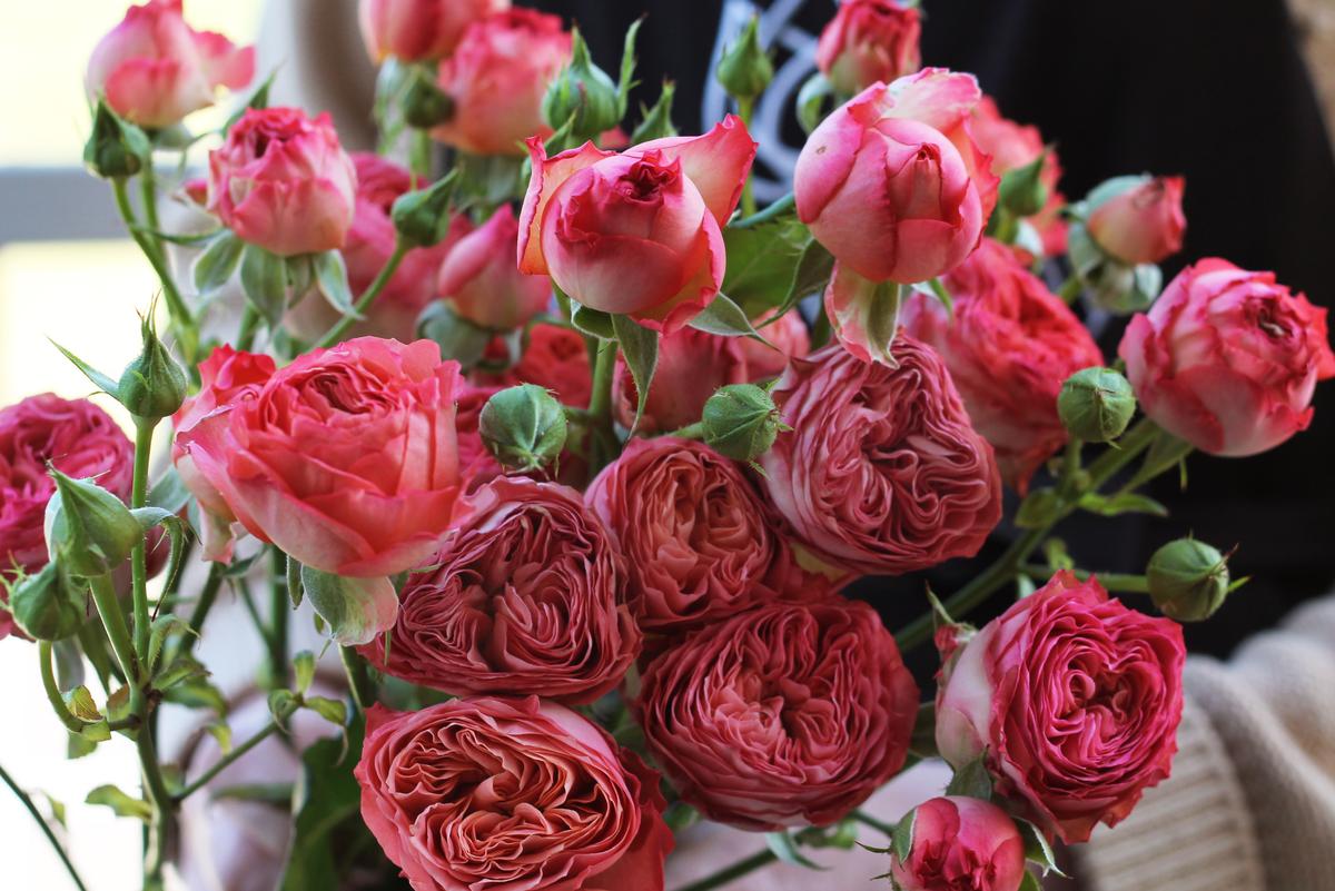 Роза Априкот Лейс 1