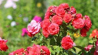 Роза Априкот Лейс 2