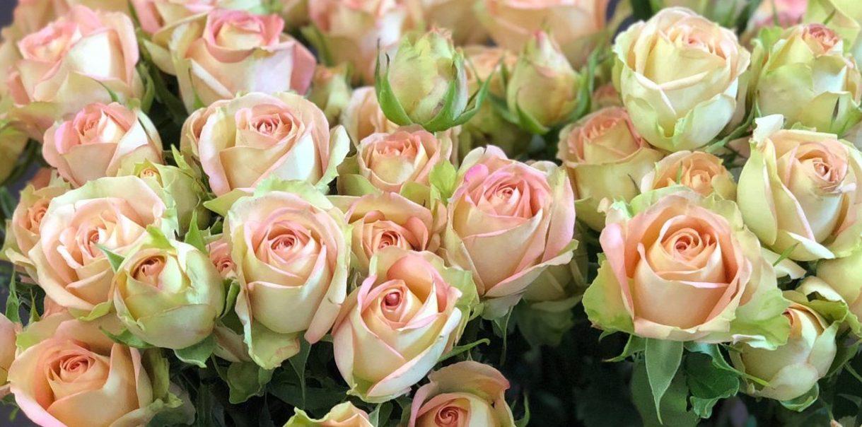 Роза Азор 2
