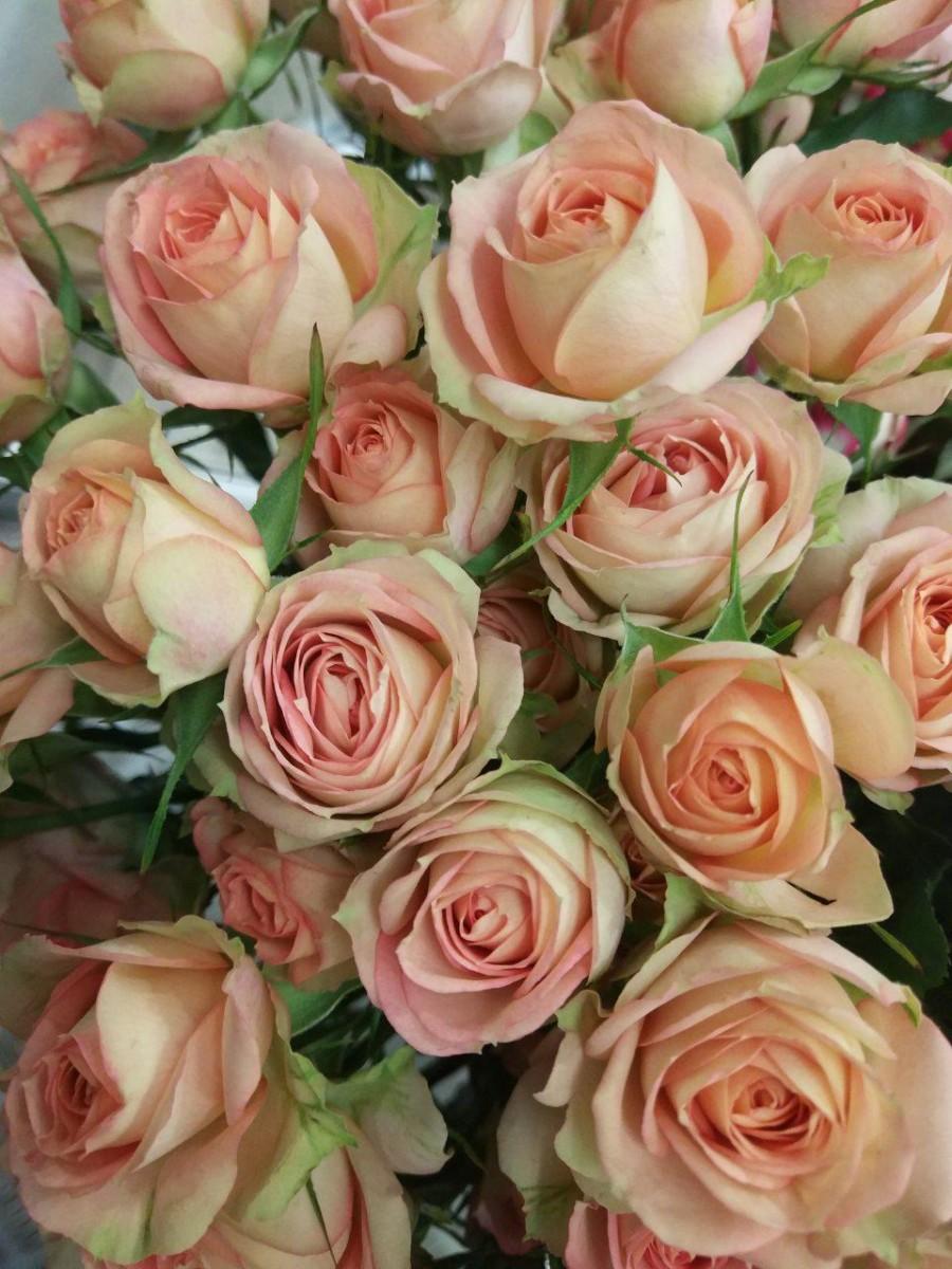 Роза Азор 3