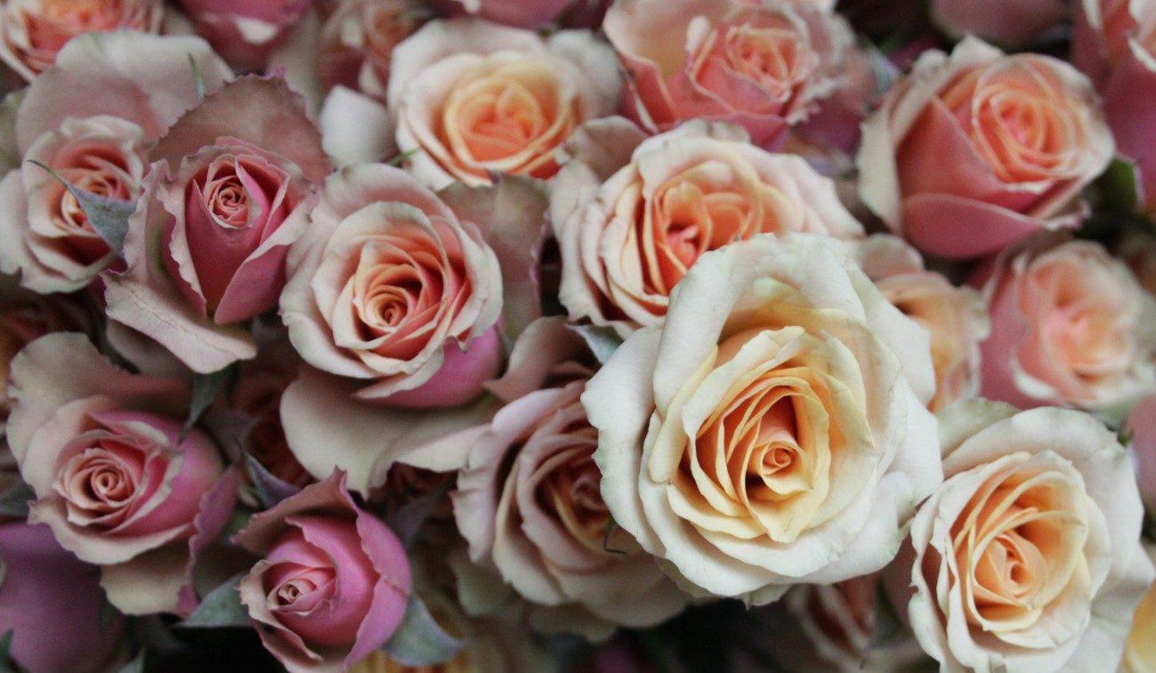 Роза Азор 1