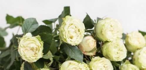 Роза Бамбу 2