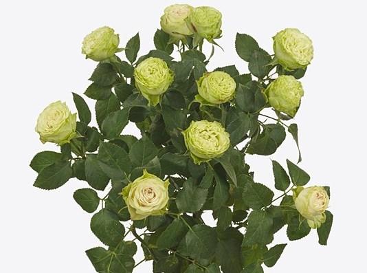Роза Бамбу 3