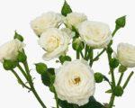 Роза Бамбу