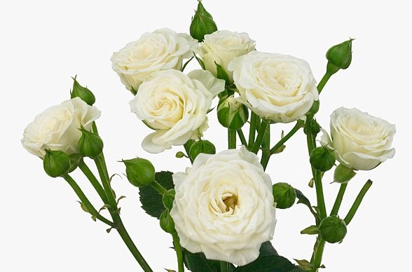 Роза Бамбу 1