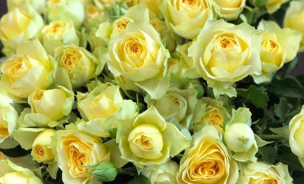 Роза Бандолеро 1