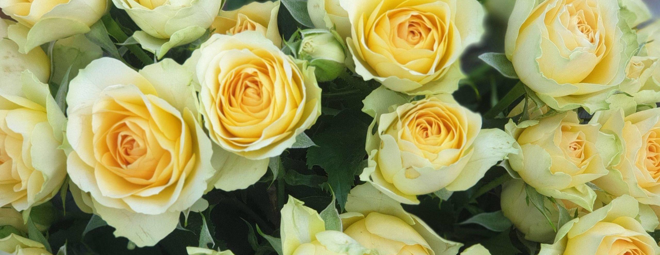 Роза Бандолеро 2