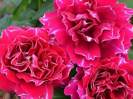 Роза Барон Жиро Де Лен 1