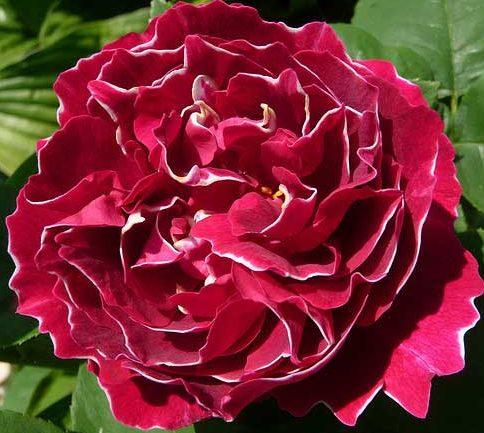 Роза Барон Жиро Де Лен 3