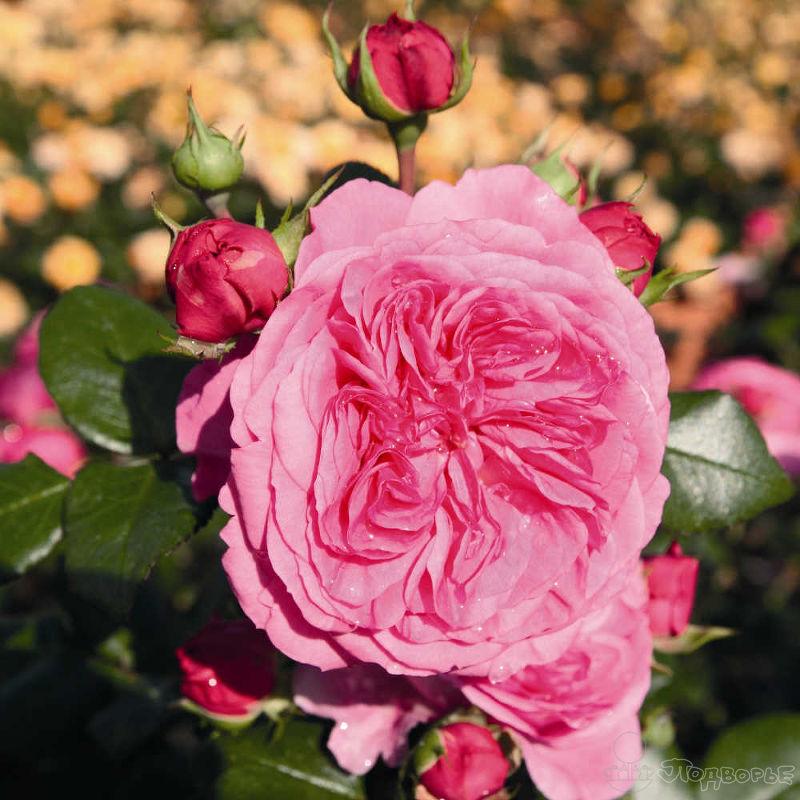 Роза Баронесса 1