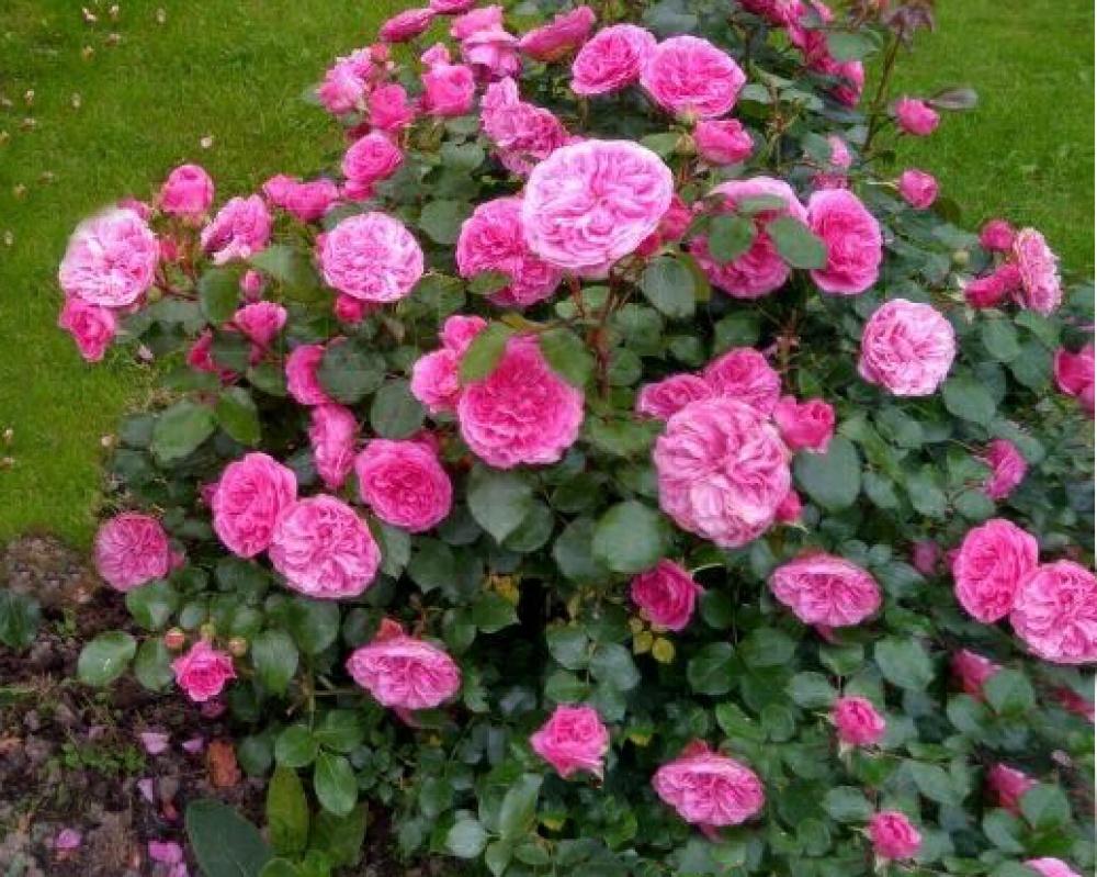 Роза Баронесса 3
