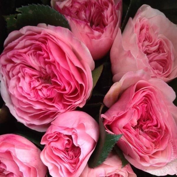 Роза Баронесса 4