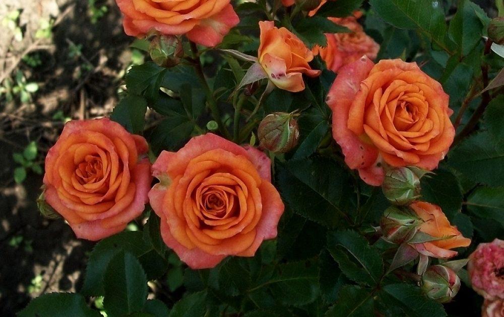 Роза Бэйби 2
