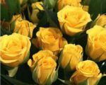 Роза Бэйби Желтая