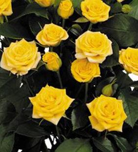 Роза Бэйби Желтая 4