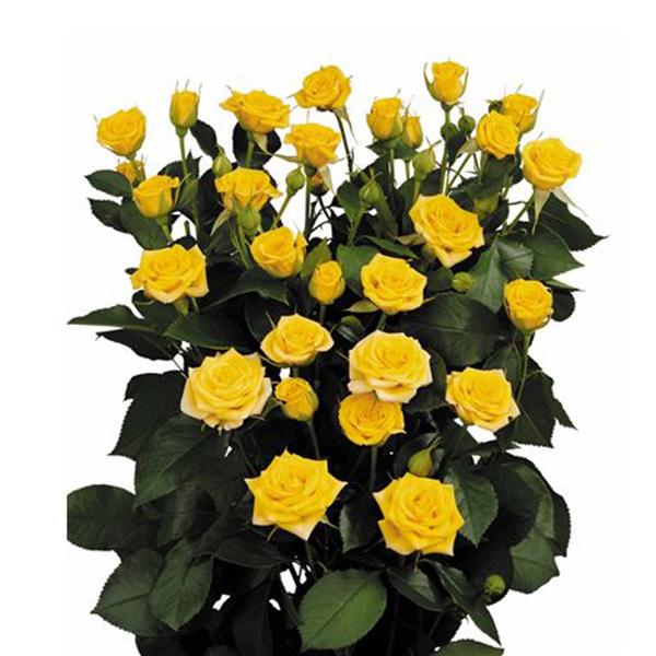 Роза Бэйби Желтая изображение 4