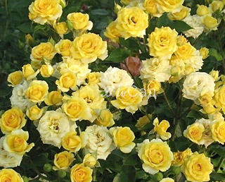 Роза Бэйби Желтая 2