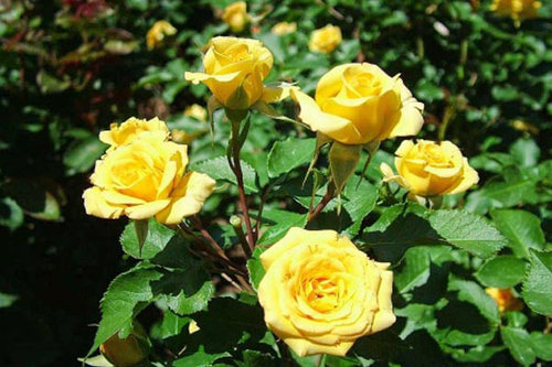 Роза Бэйби Желтая 3