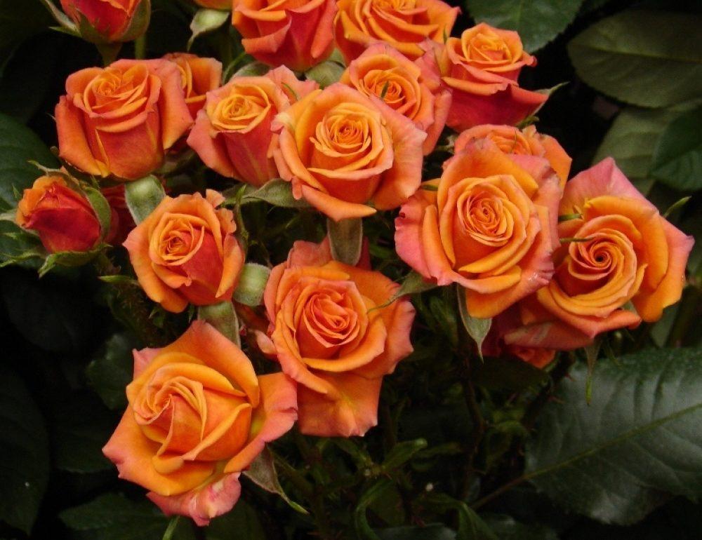 Роза Бэйби 1