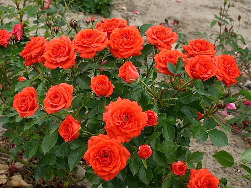 Роза Бэйби 4