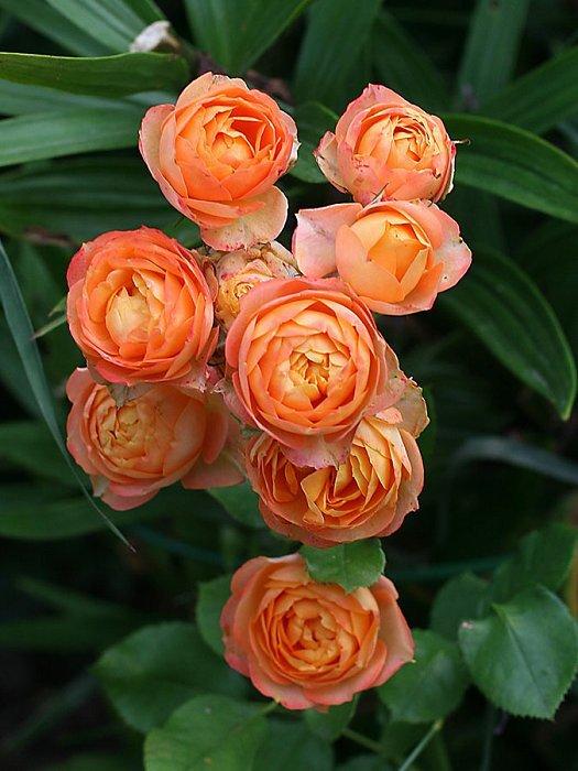 Роза Бэйби 3