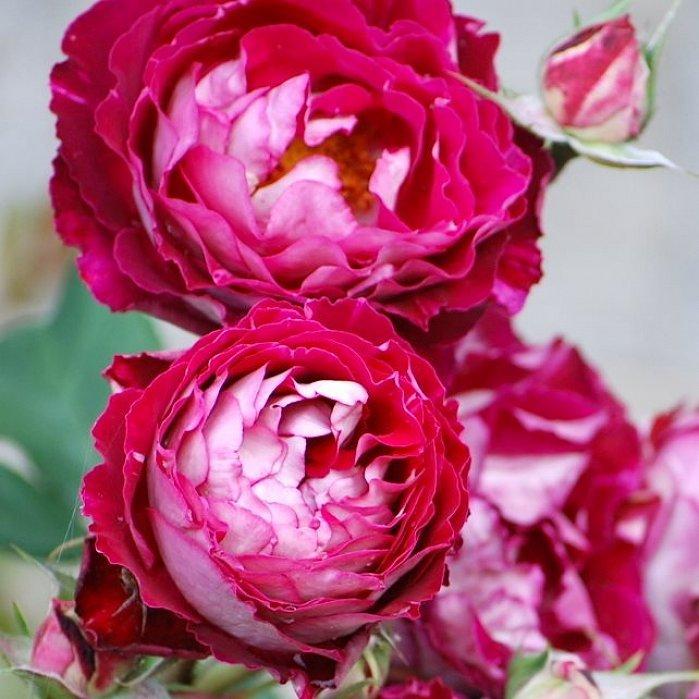 Роза Бель Де Сегоза 2