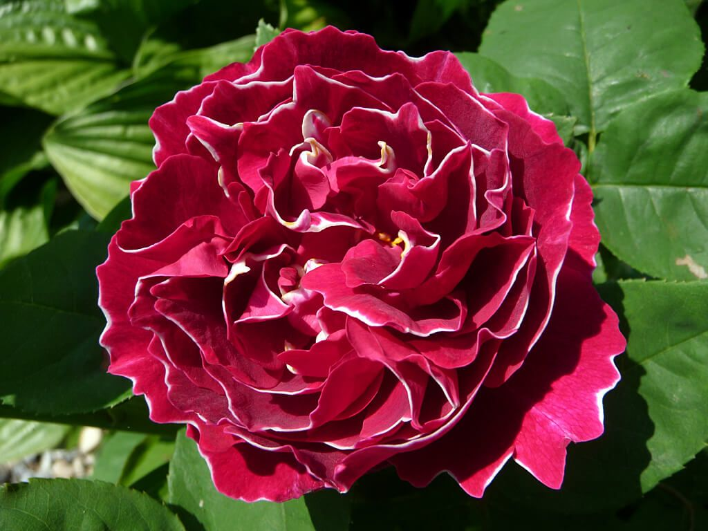 Роза Бель Де Сегоза 4