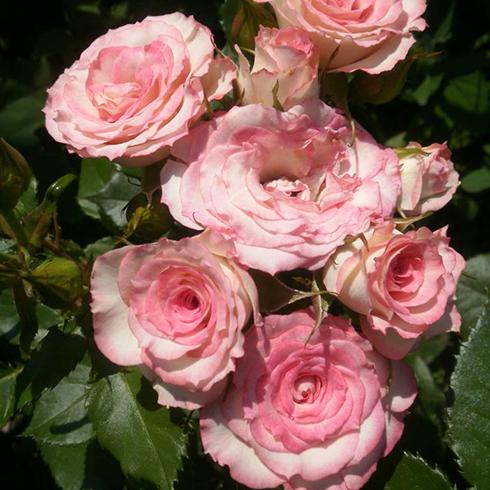 Роза Белла Линда Круелла 1
