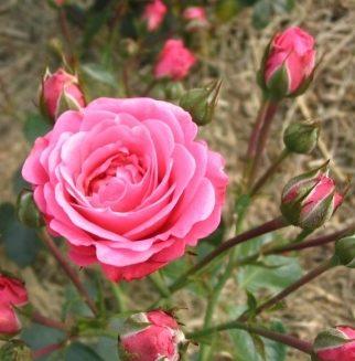 Роза Белла Линда 2