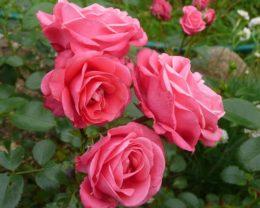 Роза Белла Линда