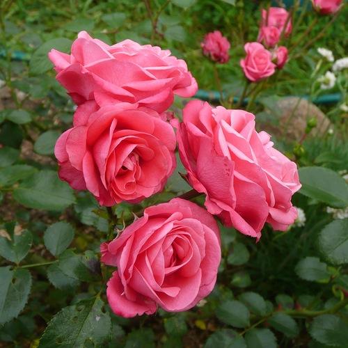 Роза Белла Линда 1