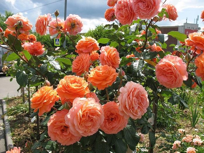 Роза Бельведер 1