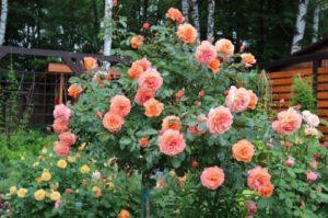 Роза Бельведер 2